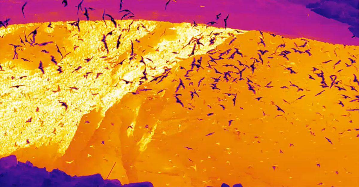 what do 20 million bats look like in thermal flir systems