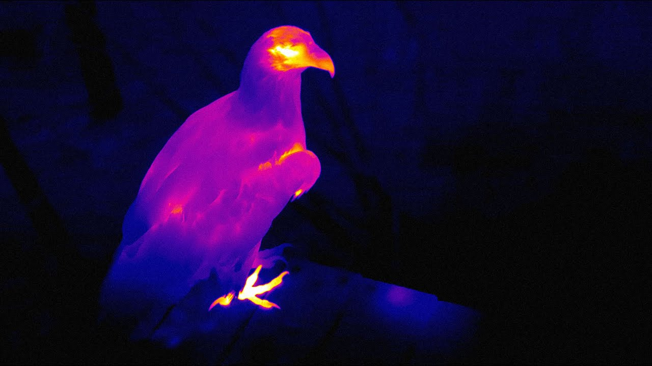 Spotting Bald Eagles with FLIR | Oregon Zoo